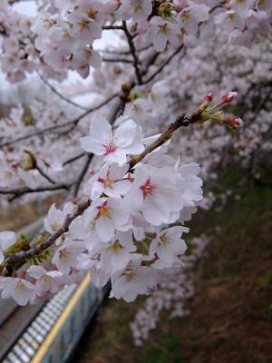 Sakura20150410