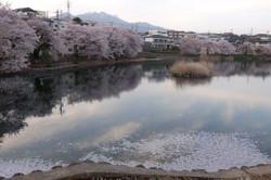 Nagasaka_sakura02