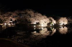 Nagasaka_sakura04