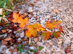 Red_leaf20151027