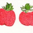オサムさんの絵てがみ2点 ~イチゴ